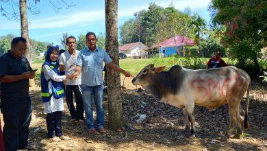 Photo of Rayakan Iduladha, PT SMGP Berkurban 6 Ekor Sapi